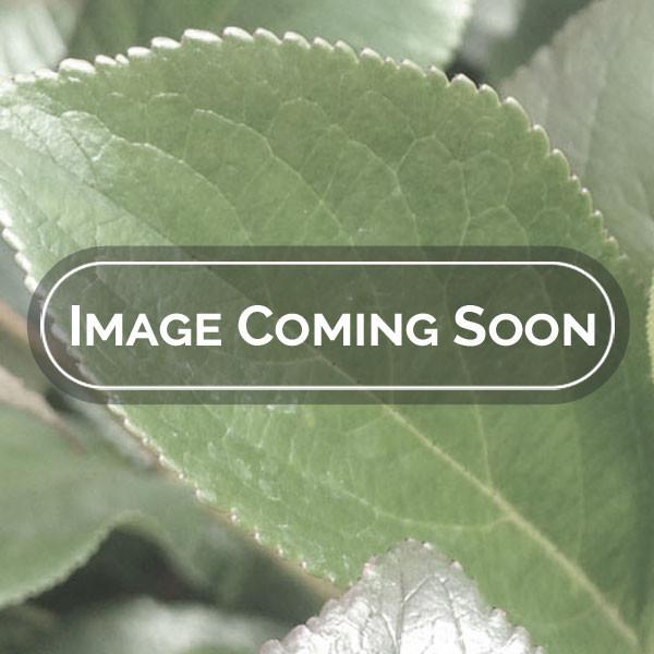 ROSE OF SHARON                                         Hibiscus syriacus 'White Chiffon'