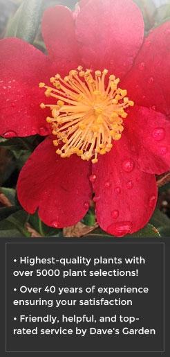 Camellia-sasanqua-Yuletide-CHRISTMAS-CAMELLIA