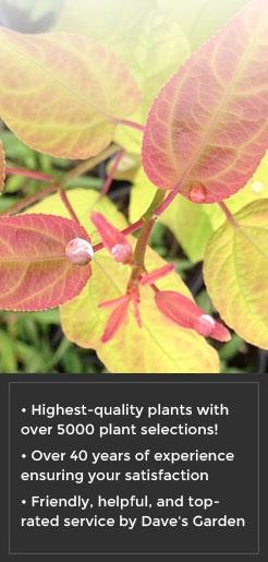 ceja020-Cercidiphyllum-japonicum-Claim-Jumper-GOLDEN-KATSURA