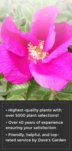 Rosa rugosa -Tomato Rose